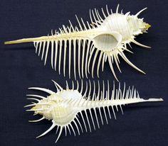 "Venus Comb Murex Shell ~ Medium Shells 4-5"" @ $9.95"