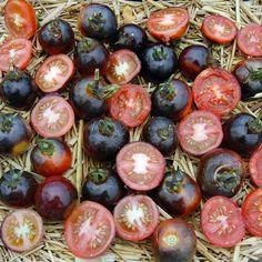 Blue Tomato INDIGO™Rose'ブルートマト・インディゴ・ローズ
