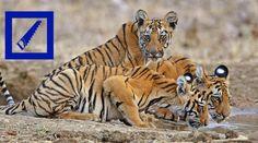 Deutsche Bank gefährdet Tiger ... PROTEST!