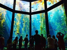 """When the Aquarium opened in 1984, Lucile Packard—the visionary of our volunteer program and wife of David Packard—exclaimed, """"In my long life, I've never been able to see what's down there. Now, at last, all of us can."""" 30 years on, this view hasn't aged one bit.  Thanks to visitor @gedharding for the amazing photo! #montereybayaquarium #idliketobe #underthesea #inakelpforestgarden #inthebay"""