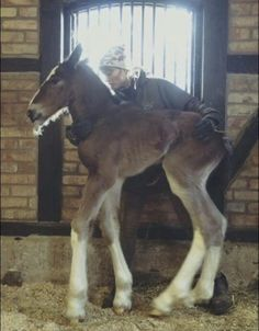 What a big boy! Shire or Clydesdale colt only a few hours old. Probably a small person holding him though. Work Horses, Baby Horses, Draft Horses, Animals And Pets, Cute Animals, Horse Markings, Horse Riding Quotes, Most Beautiful Horses, Majestic Horse