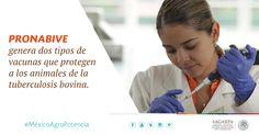PRONABIVE genera dos tipos de vacunas que protegen a los animales de la tuberculosis bovina. SAGARPA SAGARPAMX #MéxicoAgroPotencia