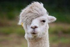 Llamas and Alpacas are famous for their hair. Start viewing haircut ideas for Llamas and Alpacas. Funny Animal Memes, Funny Animal Pictures, Funny Animals, Cute Animals, Funny Memes, Animal Funnies, Jokes, Animal Quotes, Alpacas
