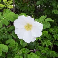 White Rugosa Rose adapts to a variety of conditions, including where salt tolerance is a concern. Its pale blush #pink buds open to highly fragrant snow-white blooms with creamy #yellow stamens. In fall, the disease resistant foliage takes on shades of #orange and #scarlet to accompany the large orange #red hips. White Rugosa is quite drought resistant once established and easy to grow. Loves full sun and hardy in zones 2-7…