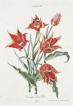 'Orange Duc Thol' Tulip (1768-1786) by Georg Dionysius Ehret (1708-1770). Source -  'Hortvs, nitidissimis omnem per annvm svperbiens floribvs' Image and text courtesy NYPL Digital Gallery.