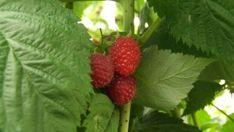 Growing Raspberries in Your Garden: The Delicious Jam Berry Essiac Tea Benefits, Chamomile Tea Benefits, Comfrey Tea, Calendula Tea, Jasmine Tea Benefits, White Tea Benefits, Green Tea Diet, Best Green Tea