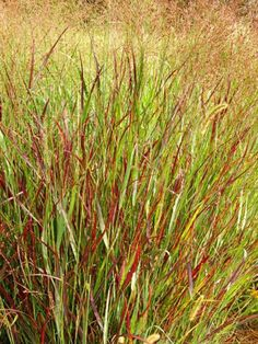 Switchgrass, a top easy-care choice for Midwest gardens. More ideas: http://www.midwestliving.com/garden/ideas/25-top-easy-care-plants-for-midwest-gardens/page/7/0