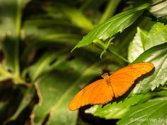 📸🦋 Unidentified Orange Butterfly | Narrative Orange Butterfly, Wildlife Photography, Orange Color, Insects, Green, Photos, Pictures, Nature Photography