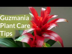 Guzmania Plant Care Tips: The Bromeliad With The Vibrant Star Shaped Flower - |