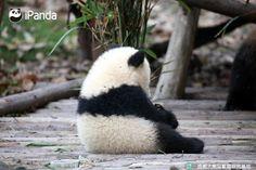 Today, lovely panda Baobao will back to China from USA. Bon Voyage!
