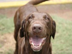 Zeus is ready for an active family and is waiting to be adopted at the Arizona Humane Society's Sunnyslope Campus
