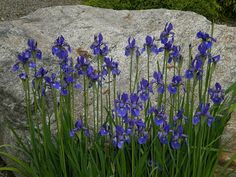 Siberian Iris looked great in front of this boulder