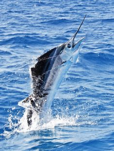 Blue Marlin Fishing in Key West Want to find out fishing secrets that will help you catch ore and bigger fish. Find out at howtocatchfishnetwork.com