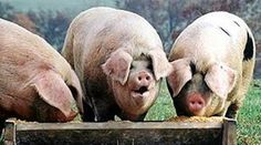 THE RIGHT RANT! These pigs are named WALKER, FITZGERALD and ROBIN VOS; The trough is money seized from current taxpayers or borrowed from future taxpayers.