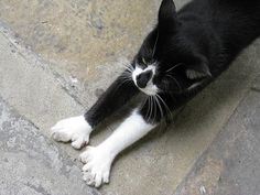 Six Toed Cat at Hemingway House