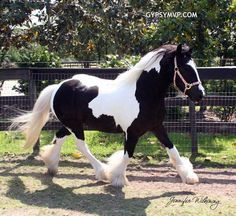 Gypsy Vanner Horses for Sale   Filly   Piebald   SSFR Emma