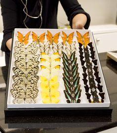 Beautiful butterflies Beautiful Butterflies, Insects, Butterfly, Japanese, Ethnic Recipes, Art, Art Background, Japanese Language, Kunst