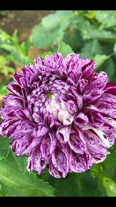 Dahlias, Cabbage, Vegetables, Food, Essen, Dahlia, Cabbages, Vegetable Recipes, Dahlia Flower