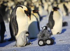 Fluffy Little Rovers Are an Effective, Adorable Way of Monitoring Penguins - IEEE Spectrum