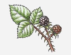 Print of Illustration of ripe and unripe Rubus (Blackberry) on spiked stem with green leaves