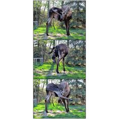 I did a #yoga class today for the 1st time in months. This #MooseDayTuesday image seems appropriate.  #Moose #yogi