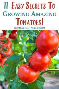 Easy tips for growing tomatoes! Grow amazing yields of tomatoes in your backyard vegetable garden with these simple tips for planting, pruning, supporting, mulching tomato plants. garden tips 11 Tips For Growing Tomatoes - Homestead Acres Tips For Growing Tomatoes, Growing Tomato Plants, Growing Vegetables, Caring For Tomato Plants, Trimming Tomato Plants, How To Grow Tomatoes, Tomato Pruning, Growing Tomatoes In Containers, Tree Pruning