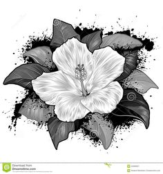 Hibiscus Flower Drawing On White Background Royalty Free Stock ...