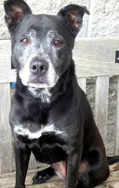 """TIPPIE (sweet senior)....PITTSBURGH, PA...We are courtesy posting this """"mature"""" lady. A foster or forever home would be a lifesaver for Tippie. Transport will be gladly provided. Let's save sweet Tippie.Poor Tippie was surrendered with her sister a few months ago and finally had a new home..."""