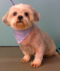 Yan Yan is an adoptable Shih Tzu Dog in McKinney, TX. My name is Yan Yan and I am a very pretty and sweet Shih Tzu mix girl. I do have a little bit of Pekingese in me? I weigh approx. 10 pounds and I ...