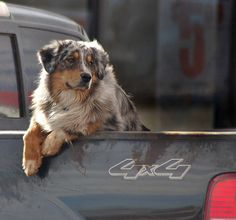 In almost every pickup in Western South Dakota! Aussie, what a great dog