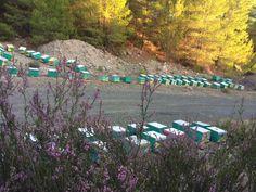 Ορεινή Μέλισσα: Σουσούρα (ερείκη) η φθινοπωρινή: Χειρισμοί ανάπτυξης και τρύγου! Ο μοβ παράδεισος των μελισσιών!