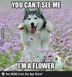 Every time I wanna avoid someone. but for real, that is a beautiful husky.