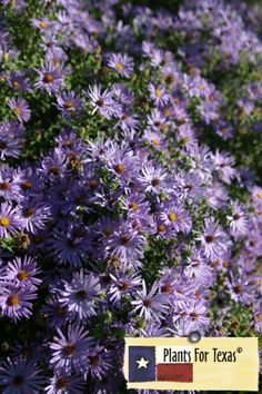 "Fall Aster is one of the last flowers to bloom in the fall, putting on a grand display of flowers when all of the others are finished. The Greek meaning of Aster is ""star"" which describes the beautiful 1"" blue flowers and yellow disk of this Texas Native. It is a nectar source for butterflies and bees. Aster oblongifolius is part of Plants For Texas® Program, meaning it was Texas Grown, Tested in Texas to perform outstanding for Texas Gardens."
