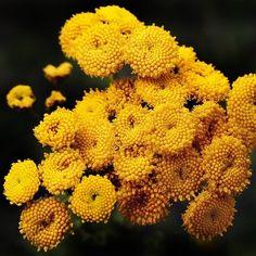 vratičová Herb Seeds, Flowers Perennials, Medicinal Herbs, Flower Seeds, Beautiful Flowers, Plants, Airmail, Magick, Etsy