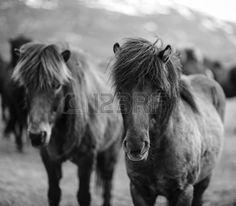 Portrait de chevaux islandais Outdoor Stuff, Horse Love, Zebras, Beautiful Horses, Farm Life, Country Girls, Thunder, Birds, Black And White