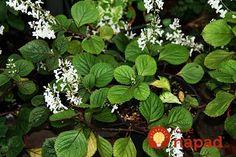 plectranthus-purpuratus-600