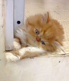 ... Pinterest | Teacup Persian Kittens, Persian Cats and Persian Kittens