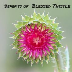 Take Blessed Thistle to support the female reproductive system, assist liver function and improve digestion. Blessed thistle supports digestion by stimulating secretions of gastric juices and saliva, and stimulating the flow of bile. #ThistleBenefits View More Benefits on Our Website.