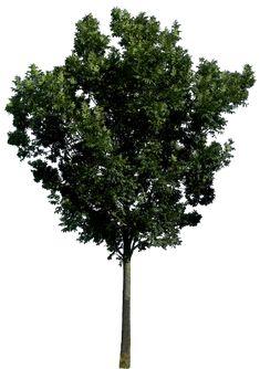 Tree 56 png HQ by https://gd08.deviantart.com on @DeviantArt