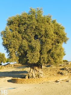 Ulivo secolare nella Valle dei Templi - Secular olive tree in the Valley of Temples