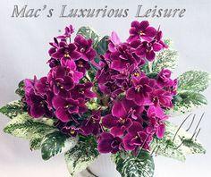 Mac's Luxurious Leisure Inside Plants, Room With Plants, All Plants, House Plants, Plant Bugs, Natural Bug Spray, Saintpaulia, Special Flowers, Cactus