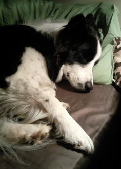 they're always so peaceful, when they're sleeping. ;) Border Collie | via Tumblr