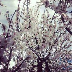 Almendros en flor #alcalalienflor