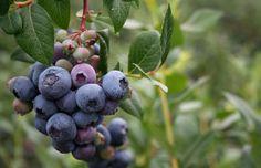 Évről-évre találkozunk a világpiacon és a hazai kereskedelemben is új gyümölcsökkel. Ezek között jócskán vannak olyanok, amelyek gyorsan megkedveltetik magukat a fogyasztókkal, és ezek... Blueberry, Fruit, Berry, Blueberries