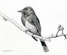 Black Phoebe Print by Timothy Livingston.