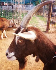Goatee envy from the neighbours Swiss goats Envy, Goats, Animals, Instagram, Animales, Animaux, Animal Memes, Animal, Goat