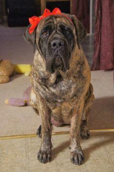 A Mastiff Blog: Gryphon Mastiffs Valentines Day 2014 Mastiff Dogs, Vizsla, Big Dogs, I Love Dogs, English Mastiff, Hercules, Make You Smile, Fur Babies, Valentines Day