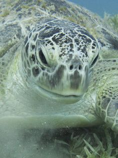 Green_sea_turtle_portrait