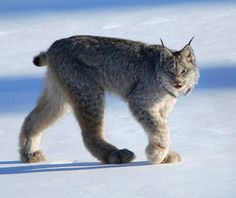 scientificphilosopher: Lynx have unusually large paws that spread out with each step. This allows them to walk on the snow's surface – like snowshoes!  Photo Credit: Keith Williams / CC