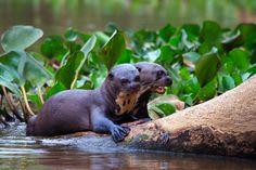 Foto van de dag: Twee gigantische rivierotters. Bekijk hier meer foto's van National Geographic: http://natgeotv.com/nl/photo-of-the-day
